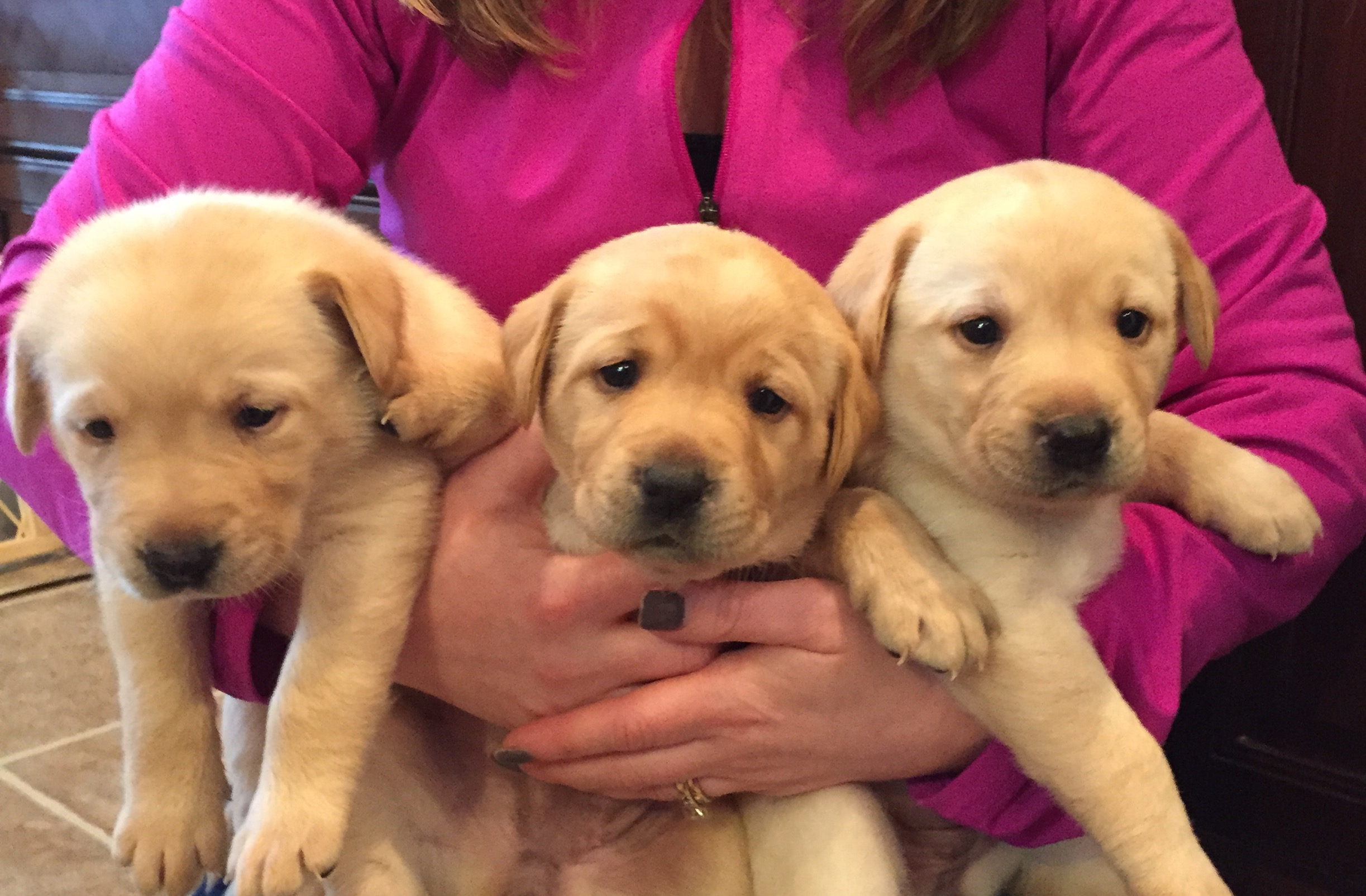 AKC Yellow Lab Puppies For Sale – Vernon National Shooting